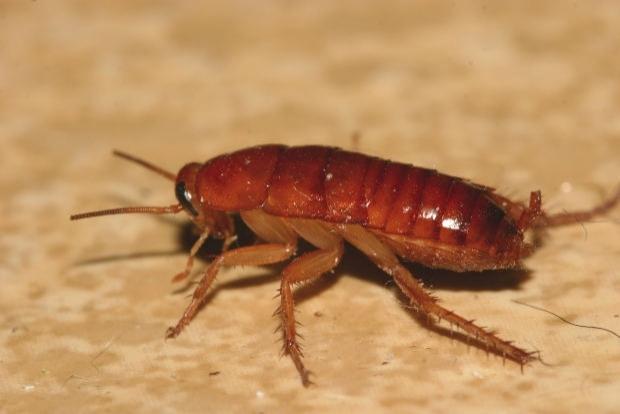 Pest Control: Roaches