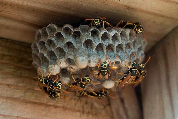 Wasp Nest Extermination